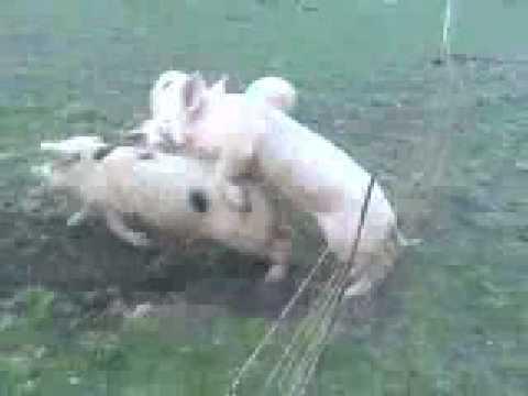 Shocking Pig Porn