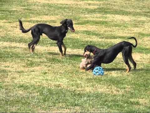 Saluki Puppies - Spring Playtime 3 30 16