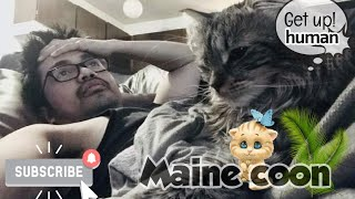Maine Coon cat trying to wake her human