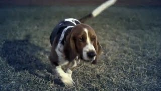 Basset Hound Loves To Play | The Daily Puppy