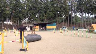 Dog Agility Exercise By Standard Poodle- Jumping -