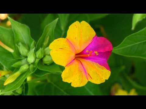 MIRABILIS JALAPA - COLOR EVOLUTION - ERNESTO CORTAZAR - COLORS