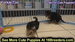 Yorkie Ton, Puppies For Sale, In Jacksonville, Florida, FL, 19Breeders, Orlando, Cape Coral