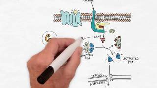 G Protein Signaling  Handwritten Cell & Molecular Biology