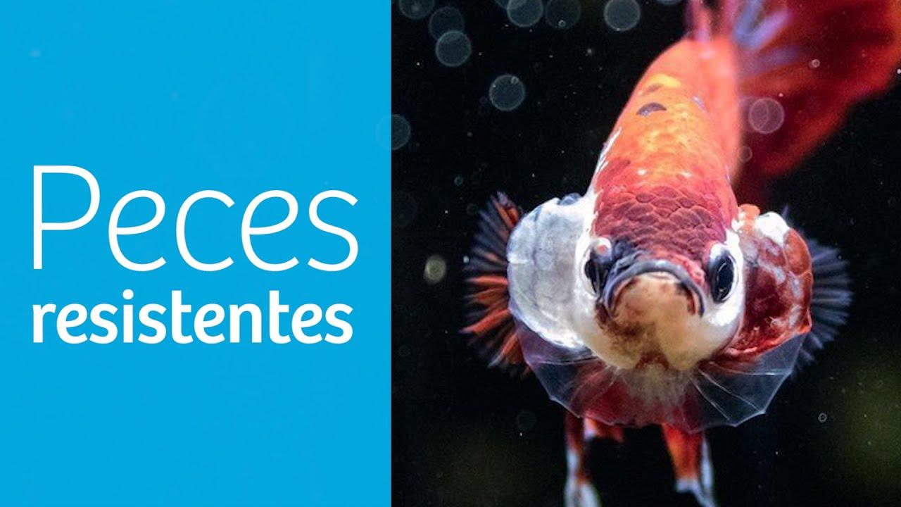 Top 9️⃣ · Los PECES más RESISTENTES de AGUA DULCE