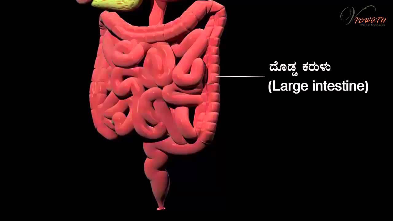 Digestive System Kannada Youtube
