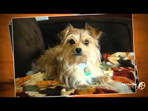 Yorkillon Dog breed