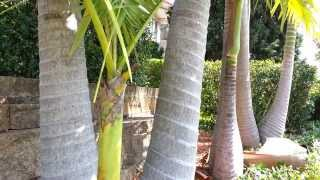 King Palm Tree - Archontophoenix cunninghamiana - Bangalow palm HD 01 - Top 10 Palm Trees HD 01