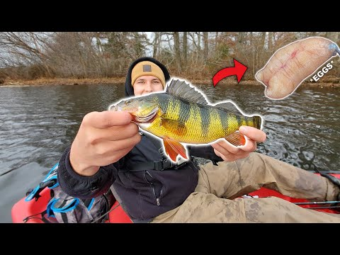 JUMBO Yellow Perch + Roe (Catch Clean Cook) First Time Tasting!!