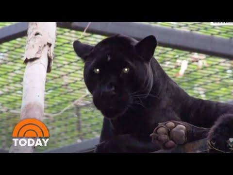 Bill Cunningham - VIDEO: Jaguar Attacks Woman Taking Selfie At Arizona Zoo