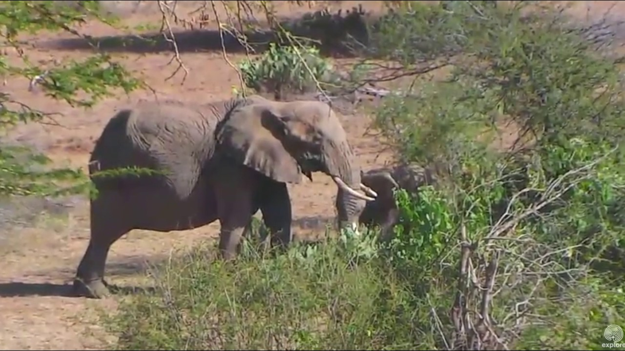 Mom and baby elephant. Africa Animals cam. 18 January 2017
