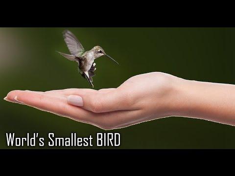 Unique ideas | worlds smallest Bird  | Bee Hummingbird |