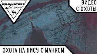 Охота на лису с манком. Зима 2017