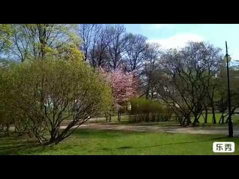 В Петербурге  цветёт Сакура  .