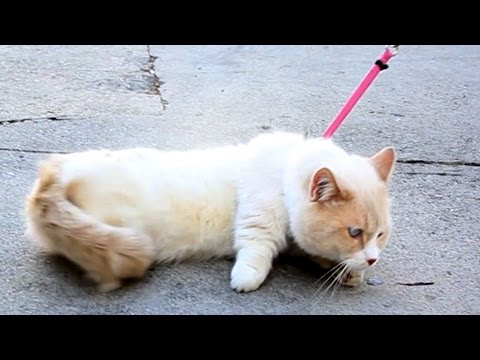 People Try Walking Their Cats