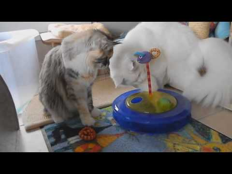 Maine coon cats playing with new toy