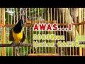 Sogon Gacor Pandai Memikat Sogon Lain Agar Cepat Gacor  Mp3 - Mp4 Download