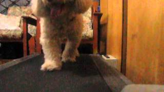 Poodle Treadmill Workout.mp4