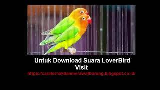 Download Suara Burung lovebird  Merdu Masteran Ngekek Durasi Panjang Mp3