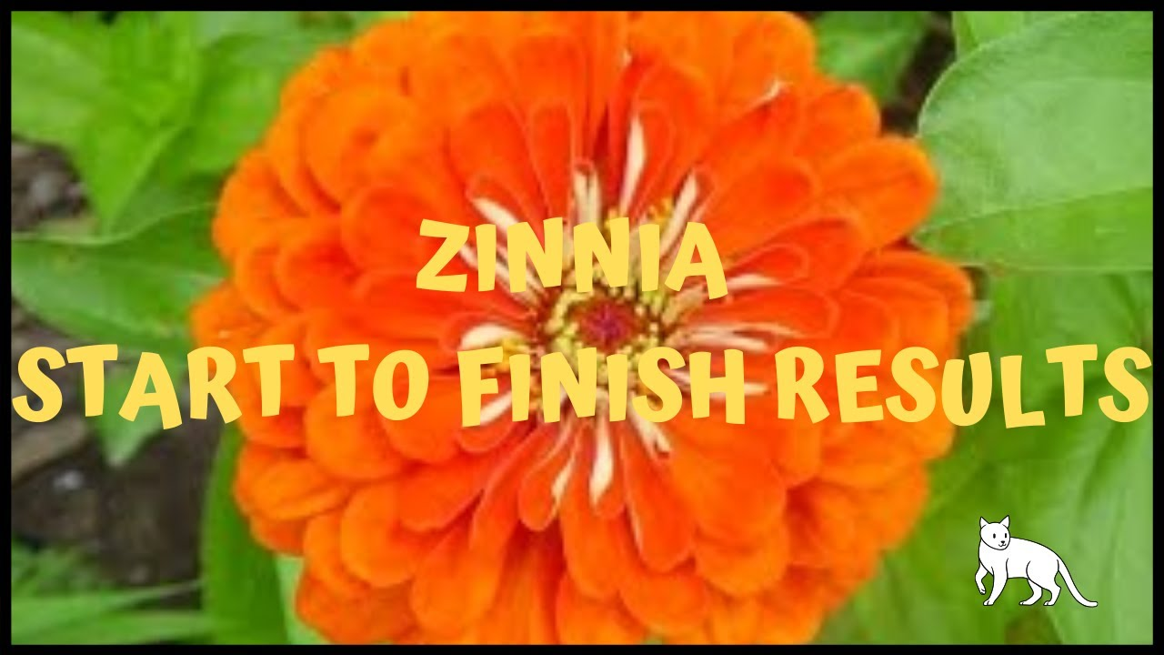 Ep 369 Growing Zinnias From Seed To Out In The Garden