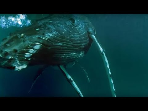 Whales hunting krill - Planet Earth - BBC