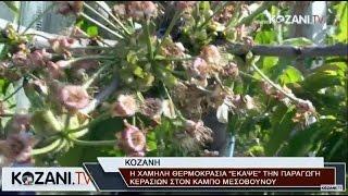Καταστροφή στα κεράσια στον κάμπο Μεσοβούνου