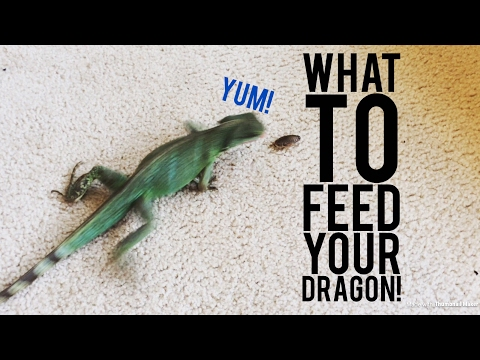 Best Insects to Feed Chinese Water Dragons