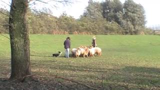Herding Sheep With Cardigan Welsh Corgi James