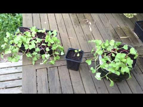 Semis qui filent, longue tige, a ne pas faire après la germination de vos graines! astuce + solution