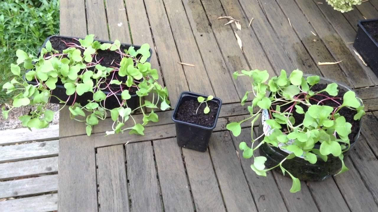 semis qui filent longue tige a ne pas faire apr s la germination de vos graines astuce. Black Bedroom Furniture Sets. Home Design Ideas
