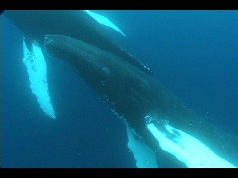 Bermuda Humpback Whale Migration
