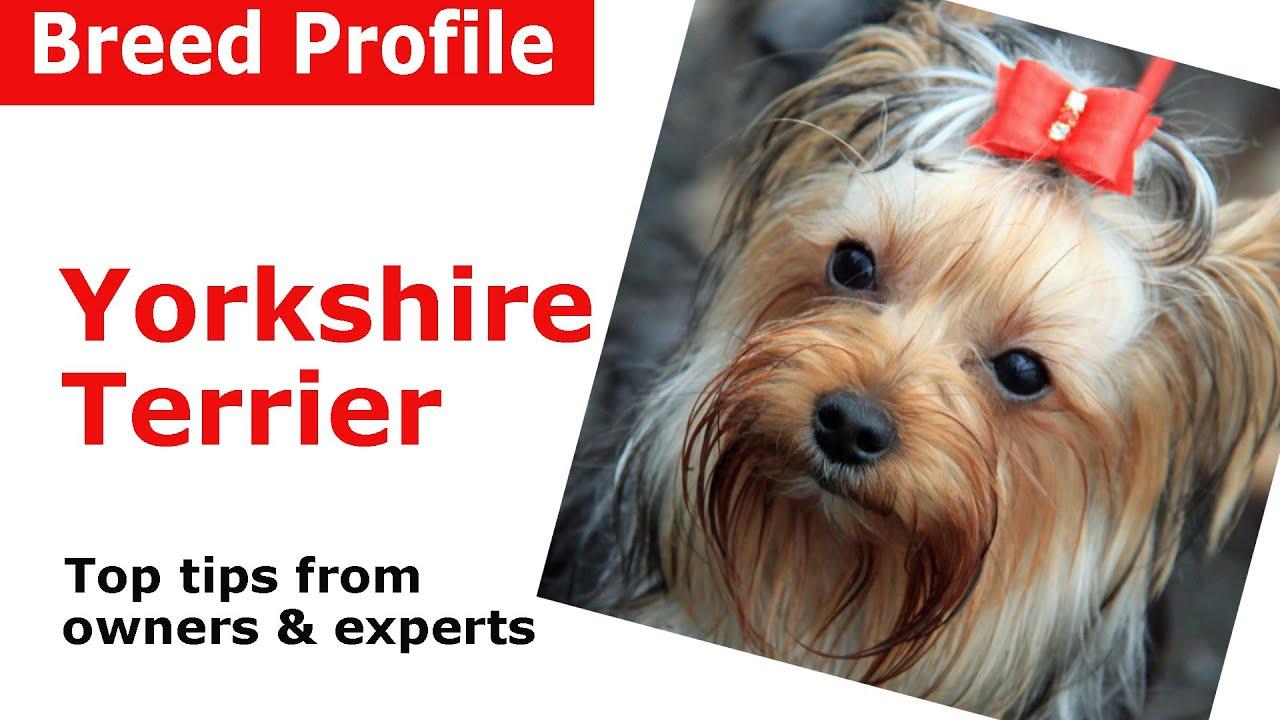Yorkshire terrier prosztatagyulladás - Spárga a prosztatagyulladás kezelésére