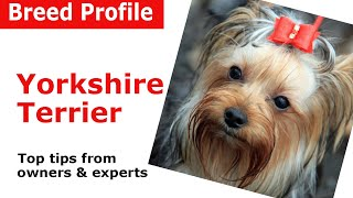 Yorkshire Terrier Dog Breed Guide