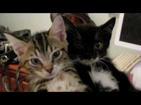 Thumbnail for Cat Video Fainting Goat Syndrome Kittens