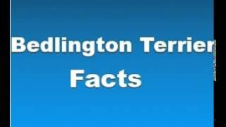 Bedlington Terrier Facts - Facts About Bedlington Terriers