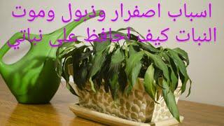 أنقذ نباتاتك من الذبول ومن اصفرار الأوراق وداعا للأصفرار وموت النباتات بعد الأن فديو مهم جدا