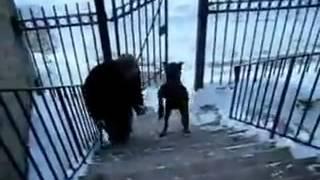 Pas hoda kao čovek :)