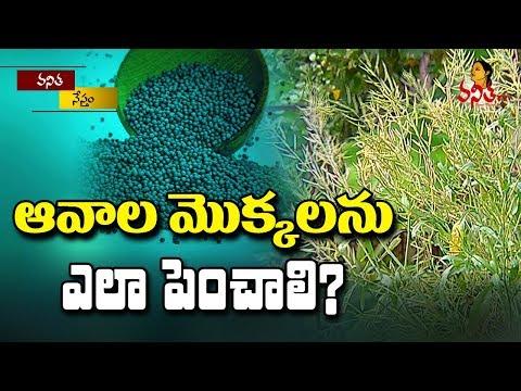 ఆవాల మొక్కలను ఎలా పెంచాలి? || How To Plant Mustard Seeds? || Vanitha Tips || Vanitha TV