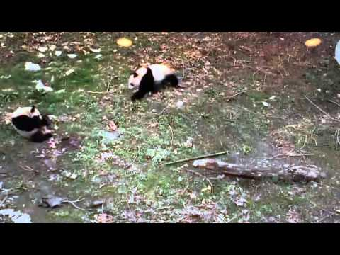Wolong National Nature Reserve - Panda does a run by