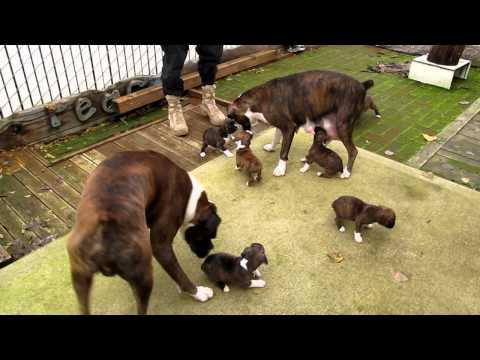 CRAZY BOXER DOGS FAMILY HAVING FUN