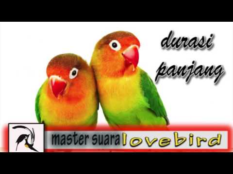 Masteran Suara Burung LoveBird Full Durasi Panjang 1 Jam Lebih