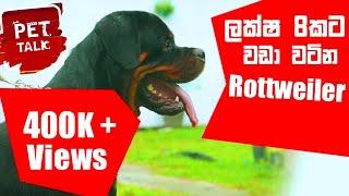 ලක්ෂ 8කට වඩා වටින Rottweiler / Rottweiler ගැන සම්පුර්ණ විස්තරේ | Pet Talk