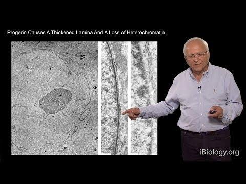 Robert Goldman (Northwestern U/MBL) Part 2: Nuclear Lamins