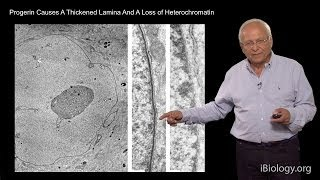 Robert Goldman (Northwestern U/MBL) Part 2: Nuclear Lamins
