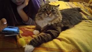 Обрати на меня внимание! Смешные коты. Сибирская кошка.