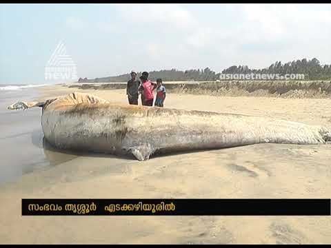 Huge Dead Whale Washed Ashore In Thrissur beach