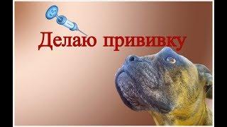 Вакцинация собак, как вводить вакцину собакам в домашних условиях