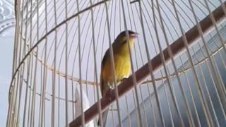 Burung moken mozambikenari