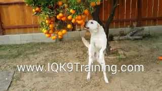 Iq K9 Training | Labrador Retriever Puppy Playing With Oranges