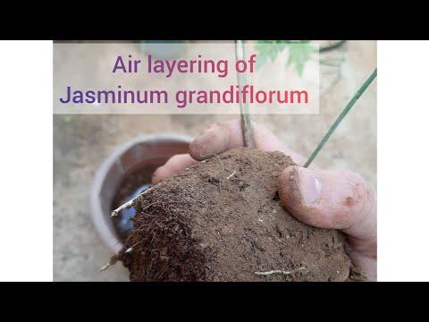 Jasminum grandiflorum/Jasmin plant